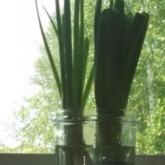 Green onions Easy to grow!